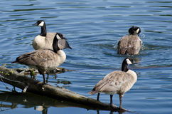 Resting Canada Geese Royalty Free Stock Images