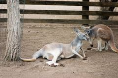 Resting Cangaroos Royalty Free Stock Photos