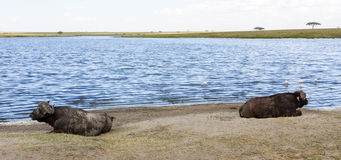 Resting Cape Buffaloes Stock Photos