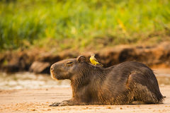 Resting Capybara with Cattle Tyrant on Back Stock Images