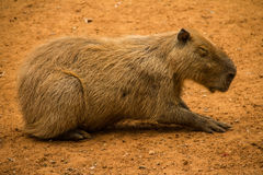 Resting capybara. An old Capybara resting in the sun Royalty Free Stock Image