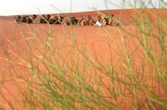 Resting caravan. Tourist caravan rests on dunes near Merzouga, Marocco Stock Photos