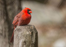 Resting cardinal Royalty Free Stock Image