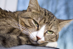 Resting cat Stock Photography
