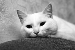 Resting cat. This incredible piercing eyes cat Royalty Free Stock Images