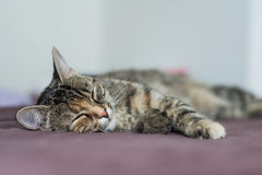 Resting cat. Sleeping cat on a bed Royalty Free Stock Photos