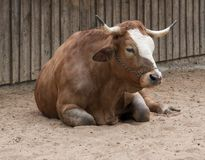 Resting cattle Royalty Free Stock Images