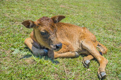 Resting Cattle Stock Photography