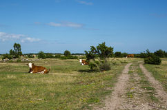 Resting cattle by a dirt road Royalty Free Stock Image