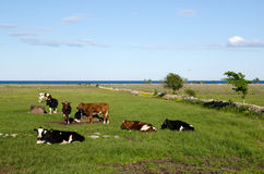 Resting cattle Royalty Free Stock Image