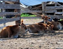 Resting Cattle. Several cows lay and rest after a big meal Royalty Free Stock Photos