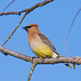 Resting Cedar Waxwing Stock Images