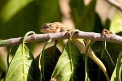 Resting chameleon Stock Photography