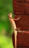 Resting chameleon Royalty Free Stock Image