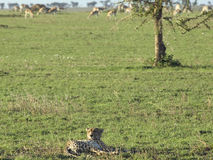 Resting cheetah. Cheetah lying in teh savanna grass with a herd of thomsons gazelles in the background Royalty Free Stock Photography