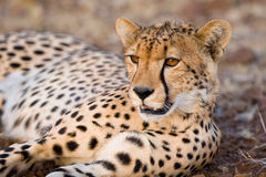 Resting cheetah. A young cheetah lying on the gravel showing its beautiful amber eyes Stock Images