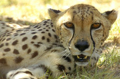Resting Cheetah. Cheetah at Tygerberg Zoo, Cape Town, South Africa Stock Image
