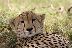 Resting cheetah. Cheetah resting in Masai Mara Kenya Royalty Free Stock Photos