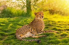Resting Cheetah. A Cheetah kept in its natural habitat lying down on the grass enjoying the sun during sunset Stock Image