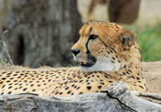 Resting cheetah. Laying on the ground Royalty Free Stock Photo