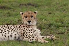 Resting cheetah in the Maasai Mara. A cheetah resting on the savannah of the Maasai Mara, Kenya Stock Photo