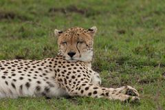 Resting cheetah in the Maasai Mara. A cheetah resting on the savannah of the Maasai Mara, Kenya Royalty Free Stock Photos