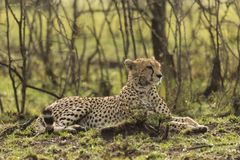 Resting cheetah in the Maasai Mara. A cheetah resting on the savannah of the Maasai Mara, Kenya Royalty Free Stock Image