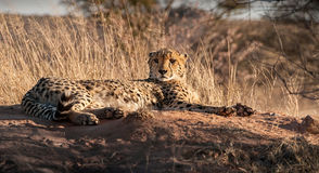 Resting Cheetah in Mantobeni, South Africa. Cheetah relaxing in the sun in the long grass of South Africa Stock Photos