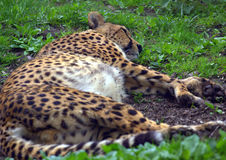 Resting cheetah in the park. Resting cheetah lying in the park Stock Image