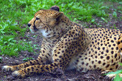 Resting cheetah in the park. Resting cheetah lying in the park Royalty Free Stock Photo