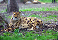 Resting cheetah in the park. Resting cheetah lying in the park Stock Photography