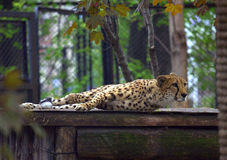 Resting cheetah in the park. Resting cheetah lying in the park Stock Photo