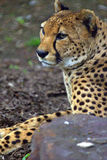 Resting cheetah in the park. Resting cheetah lying in the park Royalty Free Stock Photos