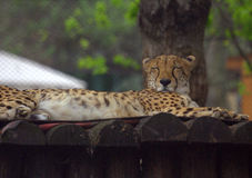Resting cheetah in the park. Resting cheetah lying in the park Stock Images