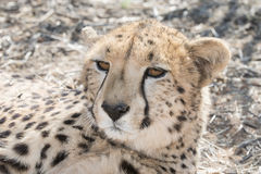 Resting cheetah. Portrait of a resting cheetah in the Kalahari desert sand, Botswana, Africa Stock Images
