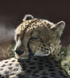 Resting Cheetah. Portrait Of A Wild Cheetah Cat Royalty Free Stock Image