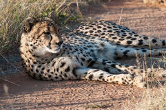 Resting Cheetah. In the private reserve Okonjima in Namibia Stock Photography