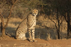 Resting Cheetah. A cheetah remains watchful while resting Royalty Free Stock Images
