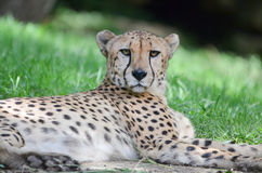 Resting cheetah. A cheetah rests in the grass Royalty Free Stock Image