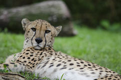 Resting cheetah 6. A cheetah rests in the grass Stock Photo