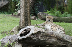 Resting cheetah 5. A cheetah rests near  a tree Stock Image