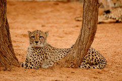 Resting Cheetah in tree. Resting Cheetah in Etosha park Royalty Free Stock Image
