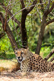 Resting Cheetah. Cheetah resting under a shade on a hot summer day Stock Photography