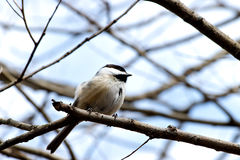 Resting Chickadee Royalty Free Stock Photos