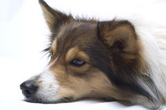 Resting Collie. Portrait of the head of a resting collie breed in profile Royalty Free Stock Photography