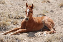 Resting Colt Horse. A new colt rests in the hot summer sun royalty free stock photography