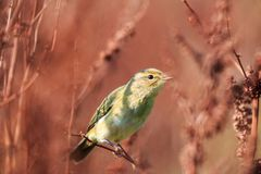 Resting common chiffchaff, Rammelwaard, Holland stock photos