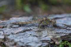 Resting Common Darter Dragonfly Stock Photo