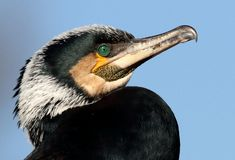 Resting Cormorant Head Shot royalty free stock images