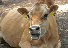 Resting cow stock photo